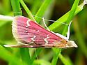 Small Pink Moth - Pyrausta signatalis