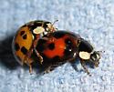 Confused ladybugs - Harmonia axyridis - male - female