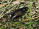 Cricket? - Gryllus pennsylvanicus - female