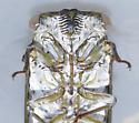 Big cicada, probably Tibicen auletes. - Tibicen auletes - female