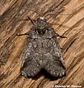 Moth - Oxycnemis advena