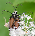 Brachyleptura rubrica - male - female
