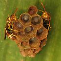With Larvae - Mischocyttarus mexicanus - female