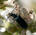 Eumecomera cyanipennis - male