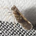 Planthopper - Pintalia vibex