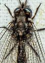 Owlfly - Ululodes