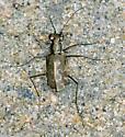 S-Banded Tiger Beetle - Cicindelidia trifasciata