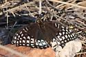 Nokomis Fritillary butterfly - Speyeria nokomis - female