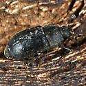 Small Black Beetle - Nitidula nigra