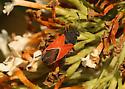 Plant Bug - Melanopleurus belfragei