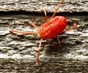 small red arachnid
