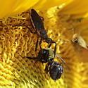 Bee Assassin on SunFlower - Apiomerus crassipes