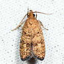 Oak Leaftier - Psilocorsis quercicella