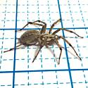 Big grey brown black specks hairy spider
