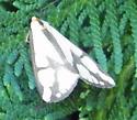 Moth - Haploa