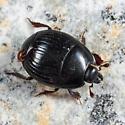 Histerid - Atholus sedecimstriatus