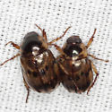 Shining Leaf Chafers - Anomala undulata - male - female