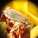 Beetles in prickly pear flowers - Epicauta