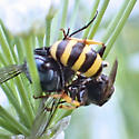 Wasp with Fly Prey - Ectemnius cephalotes - female