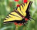 Two-tailed Swallowtail_Papilio multicaudata - Papilio multicaudata