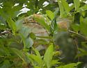 Lepidoptera-ID please - Hyphantria cunea