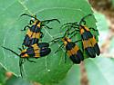 Net wing beetles - Calopteron
