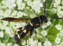 Chalcid Wasp Leucospis affinis  - Leucospis affinis - female