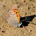 American Copper - Lycaena phlaeas