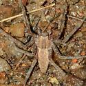 spider071018 - Pisaurina mira
