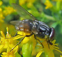 Musca autumnalis? - Musca - male