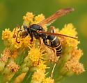 Northern Paper Wasp - Polistes aurifer