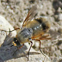 Bee Fly - Lordotus striatus
