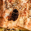 Dytiscidae?