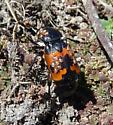 Nicrophorus marginatus? - Nicrophorus marginatus