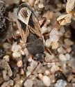 Malezonotus sp.? - Malezonotus sodalicius