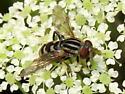 Lejops (Anasimyia)  - Lejops - female