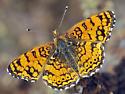 Mylitta Crescent - Phyciodes mylitta - male
