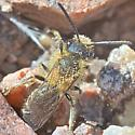 Bee ~9mm - Andrena