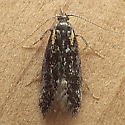 Prodoxidae: Greya? - Greya