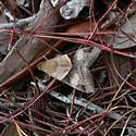 Melipotis fasciolaris - female