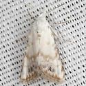 Sorghum Webworm Moth - Hodges #8991 - Nola cereella