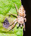 Small jumping spider?