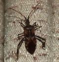 Big Brown Bug - Leptoglossus occidentalis
