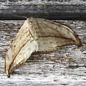 Moth ID needed - cream with distinct brown bands, distinct wing shape - Drepana arcuata