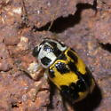 Small, black, white, and yellow beetle - Pachybrachis tridens
