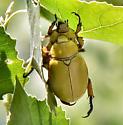 Goldsmith Beetles or maybe Cotalpa flavida - Cotalpa - female