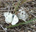 Checkered Whites - Pontia protodice - male - female