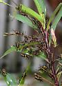 Eastern Lubber Grasshopper - Romalea microptera - Romalea microptera