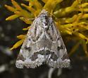 Acute-lined Flower Moth? - Schinia acutilinea