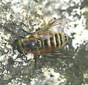 fly - Stonemyia tranquilla - male